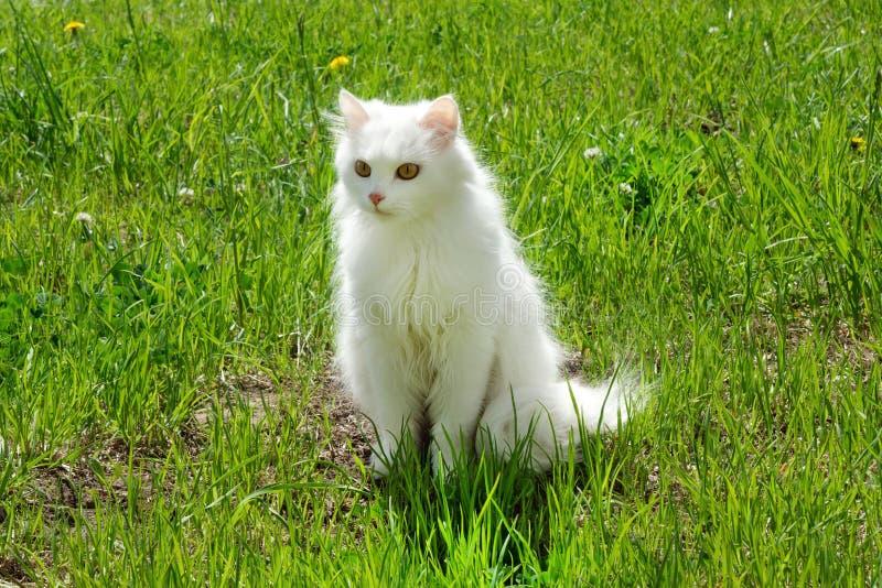 De witte pluizige kat loopt op een gras met paardebloemen stock foto