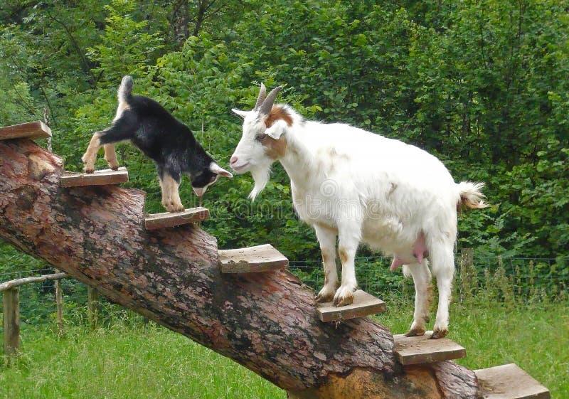 De witte, pluizige volwassen geit let op zijn kleine zwarte geit royalty-vrije stock fotografie
