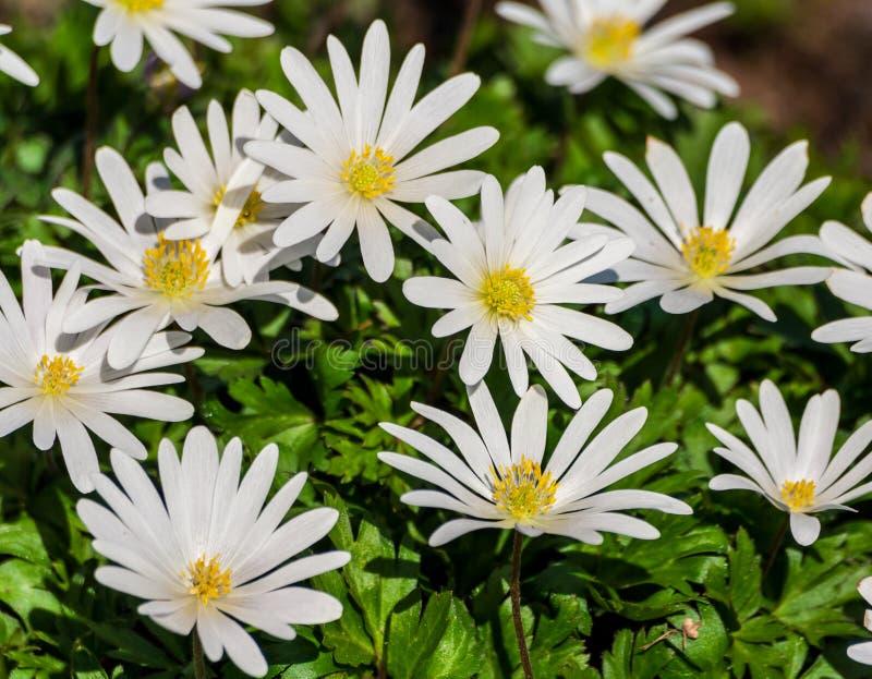 De witte pracht van anemoonblanda, een groep witte bloemen stock foto
