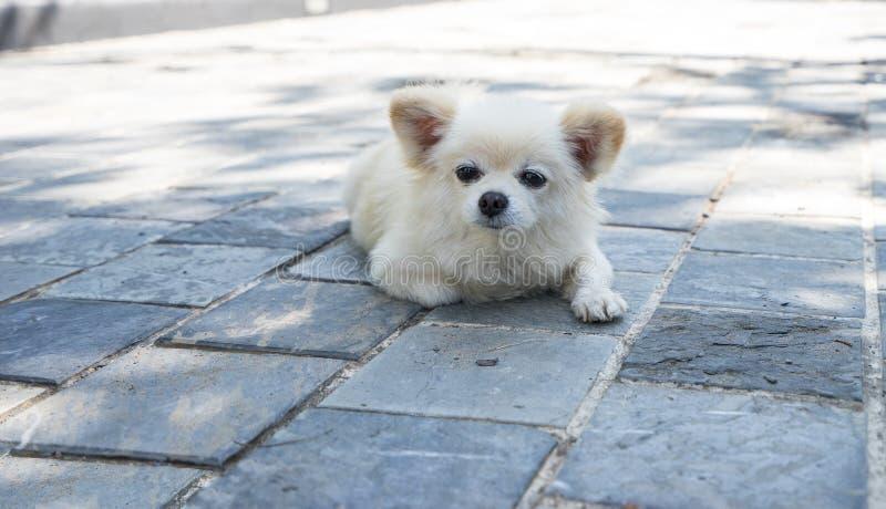 De witte puppyhond ligt op de weg stock afbeeldingen