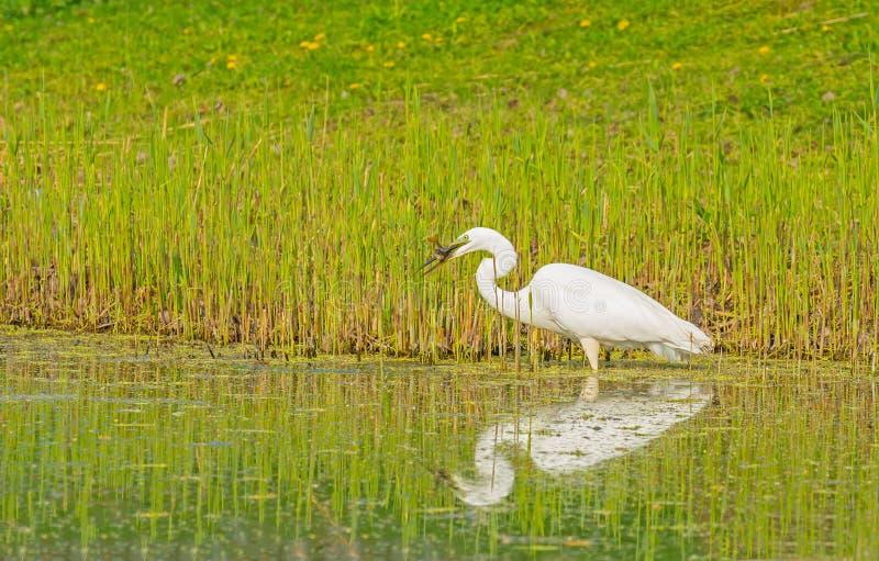 De witte reiger vangt een vis in een rivier royalty-vrije stock foto