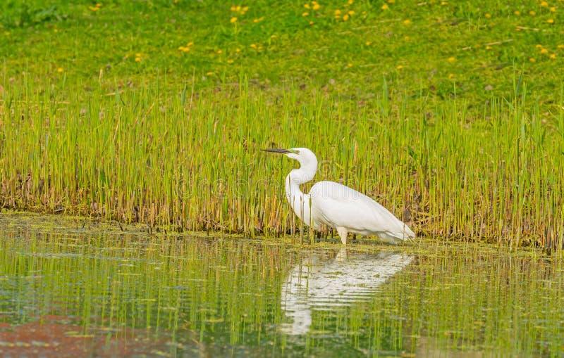 De witte reiger vangt een vis in een rivier stock foto