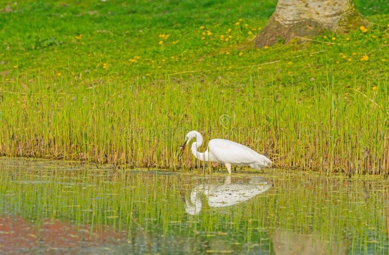 De witte reiger vangt een vis in een rivier royalty-vrije stock foto's