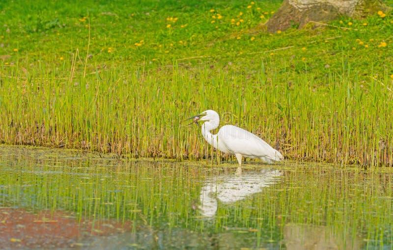 De witte reiger vangt een vis in een rivier stock foto's