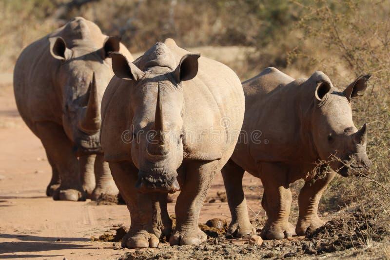 De witte rinoceros bij midden stock fotografie