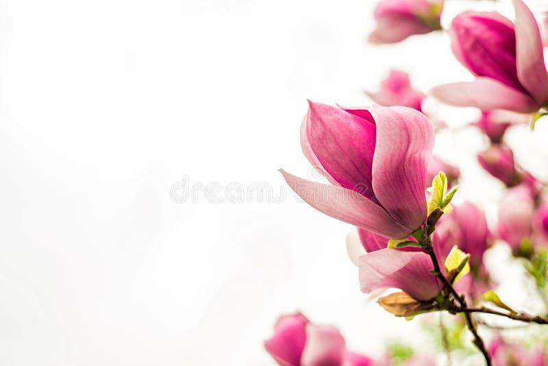 De witte, roze en purpere Chinese magnolia bloeit op een boom op een blauwe hemelachtergrond stock afbeeldingen
