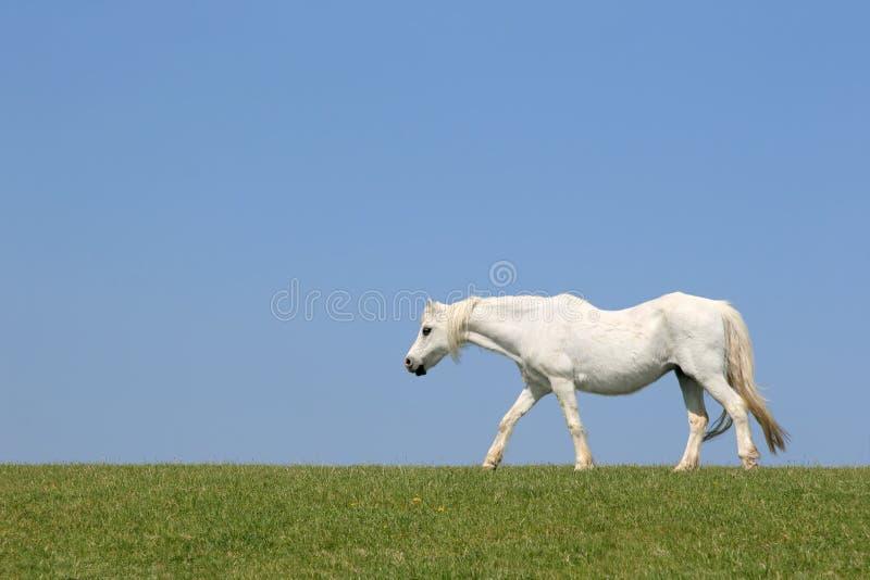 De witte Schoonheid van het Paard stock afbeeldingen