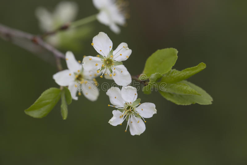 De witte tak van appelbloemen met doorbladert royalty-vrije stock foto's