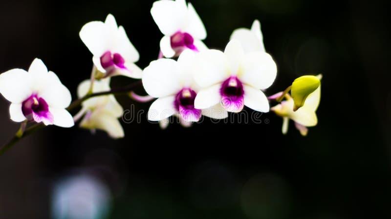 De witte tak van de orchideebloem met knoppen op stam Romantisch gebeurteniselement stock afbeeldingen
