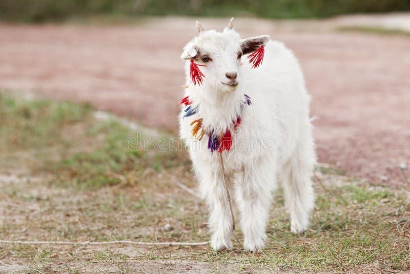 De witte Tibetaanse geit is nieuwsgierig wie de komst van ` s royalty-vrije stock fotografie