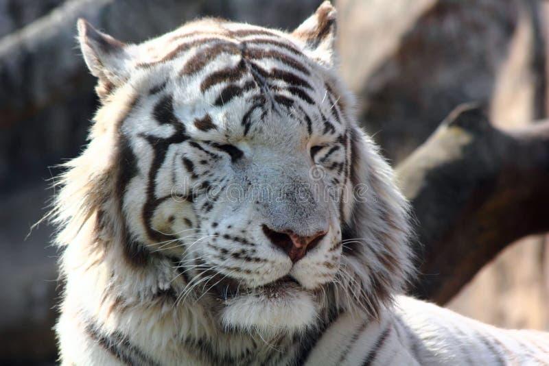 De witte tijger. stock foto's