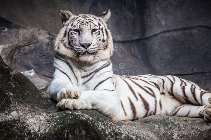 De witte tijger die van Bengalen, die ontspant, en op klip letten op liggen royalty-vrije stock fotografie
