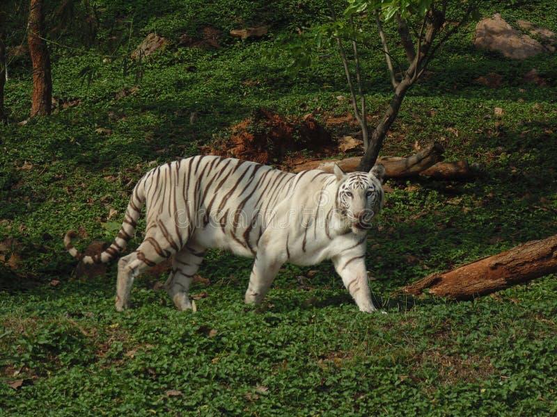 De witte tijger of gebleekte tijger stock afbeelding