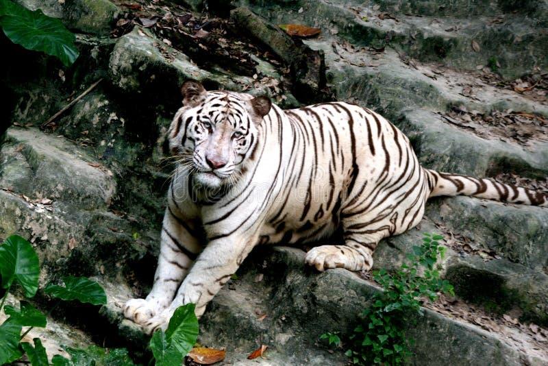 De witte tijger met stock foto