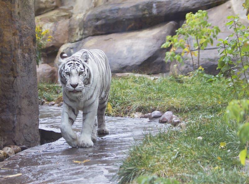 De witte tijger van Bengalen stock afbeelding