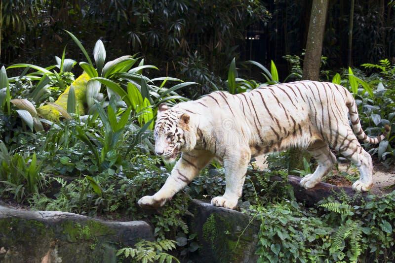 De witte tijger van Bengalen royalty-vrije stock foto's