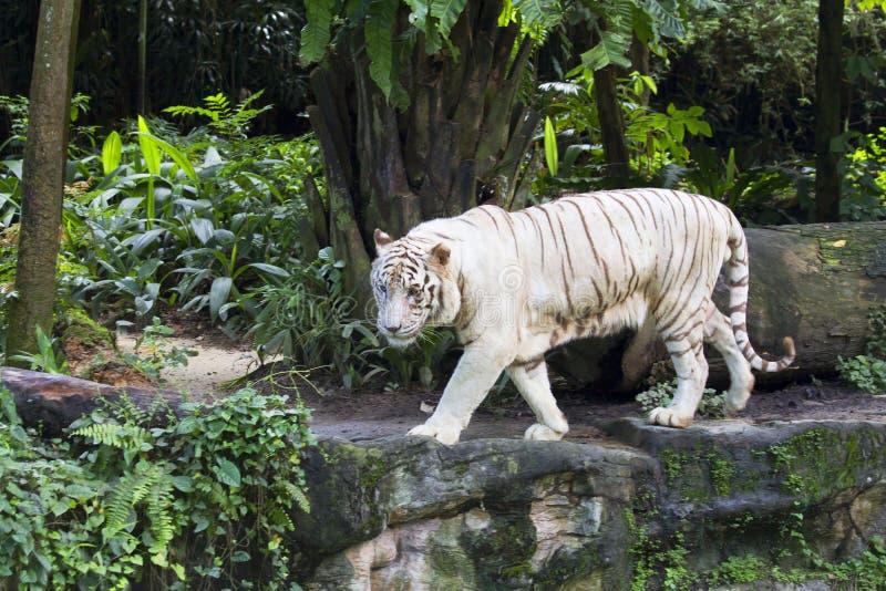 De witte tijger van Bengalen stock foto