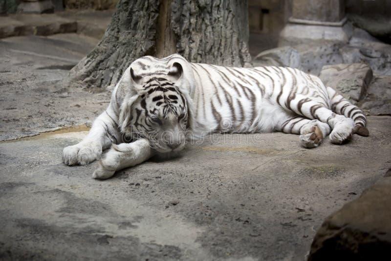De witte tijger van Bengalen stock afbeeldingen