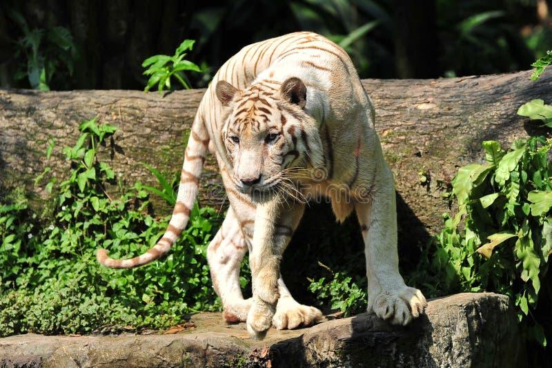 De witte tijger van Bengalen op alarm royalty-vrije stock afbeelding