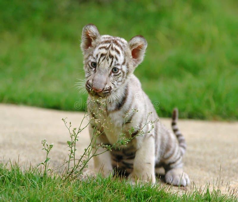 De witte tijger van de baby stock fotografie