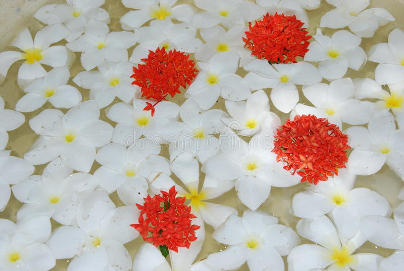 Download De Witte Tropische Achtergrond Van Frangipanisbloemen Stock Foto - Afbeelding bestaande uit bloemen, samenstelling: 10775006