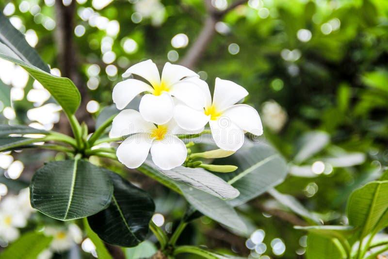 De witte tropische bloemen Plumeria van Frangipani of pagodeboom royalty-vrije stock afbeelding