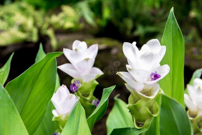 De witte tulpen die van Siam in het park bloeien Siam Tulip van Thailand stock fotografie