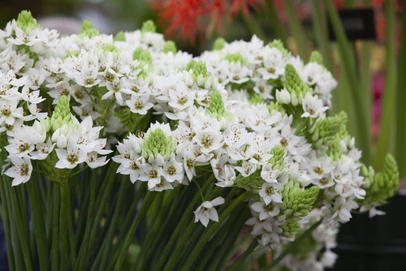 De witte tulpen tonen op de tuin stock foto