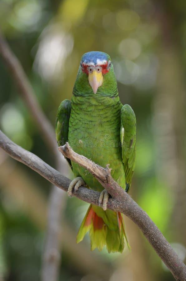De witte Uitgezien op Papegaai van Amazonië op Tak stock fotografie