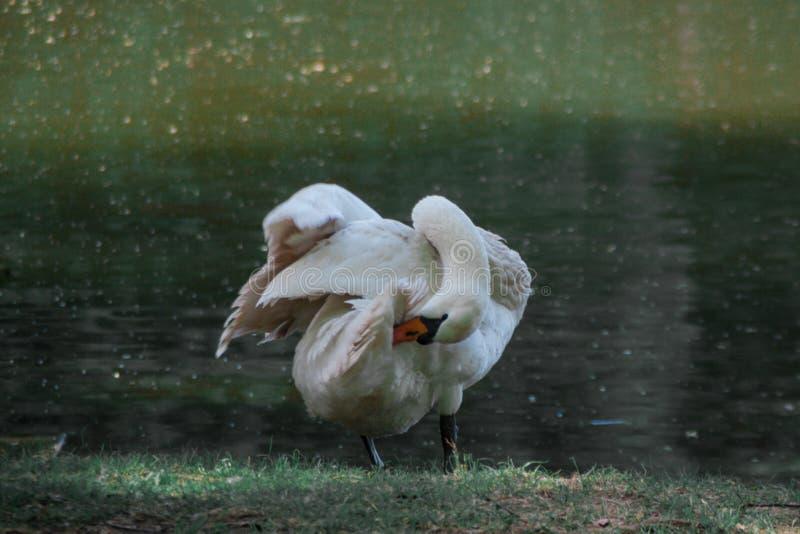 De witte veren van de zwaanpluis op de rivieroever, landelijk landschap stock fotografie