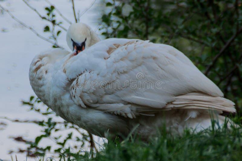 De witte veren van de zwaanpluis op de rivieroever, landelijk landschap stock afbeelding