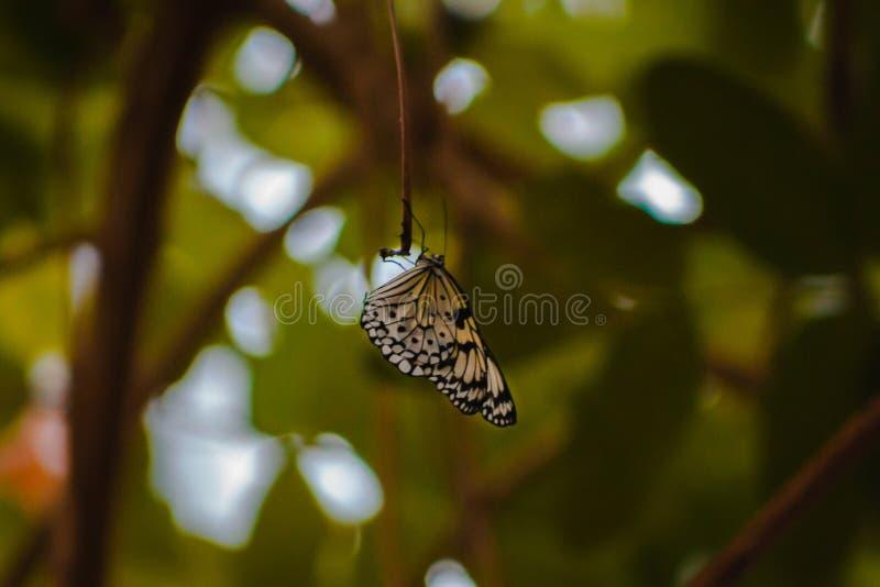 De witte vlinder met zwarte vlekken streek op een tak in de tropische serre neer in Frederik Meijer Gardens royalty-vrije stock fotografie