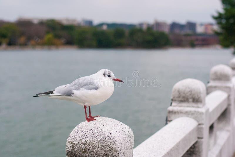 De witte vogels die zich op de steenbrug bevinden met heeft meer en het inbouwen van de achtergrond royalty-vrije stock fotografie