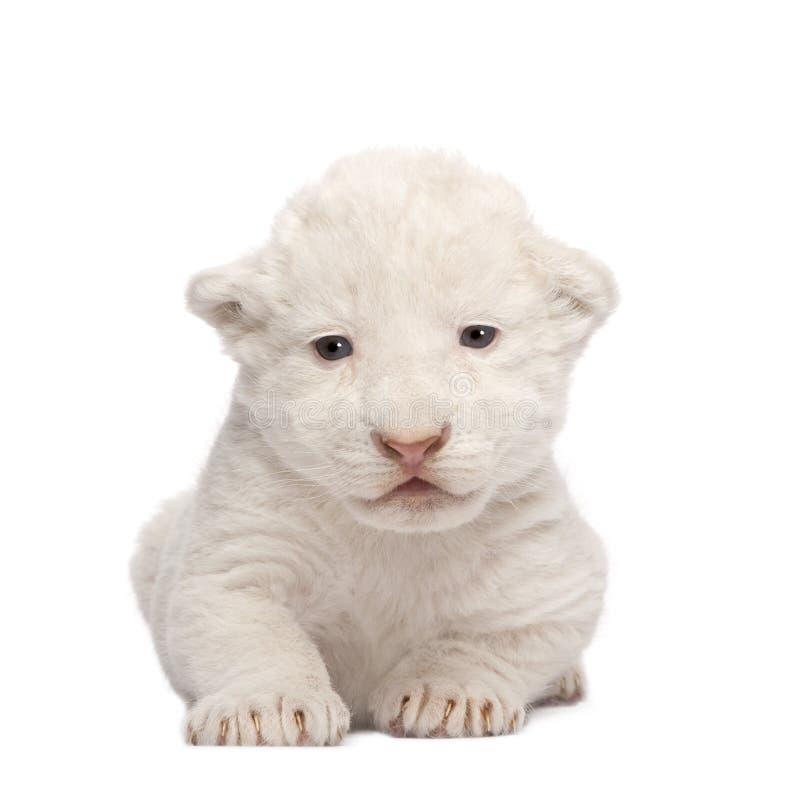 De witte Welp van de Leeuw (1 week) stock fotografie