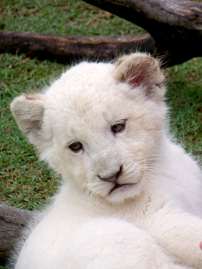 De witte Welp van de Leeuw royalty-vrije stock afbeeldingen