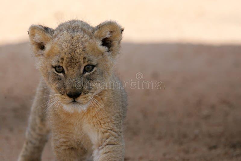 De witte Welp van de Leeuw royalty-vrije stock fotografie