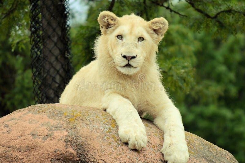 De witte Welp van de Leeuw stock fotografie