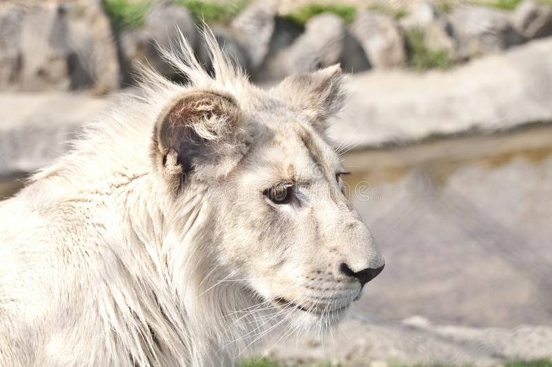 De witte Welp van de Leeuw stock afbeelding