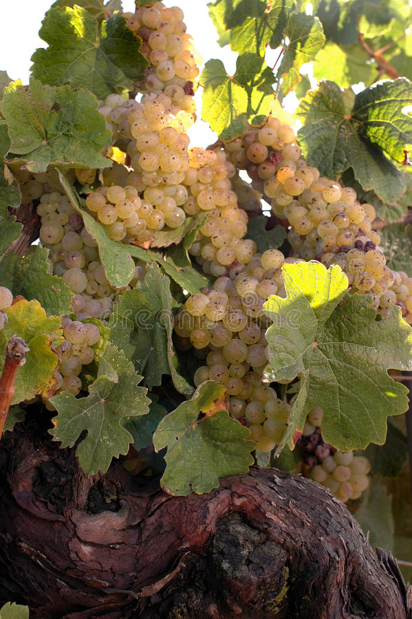 De witte Wijnstok van de Wijn royalty-vrije stock afbeeldingen