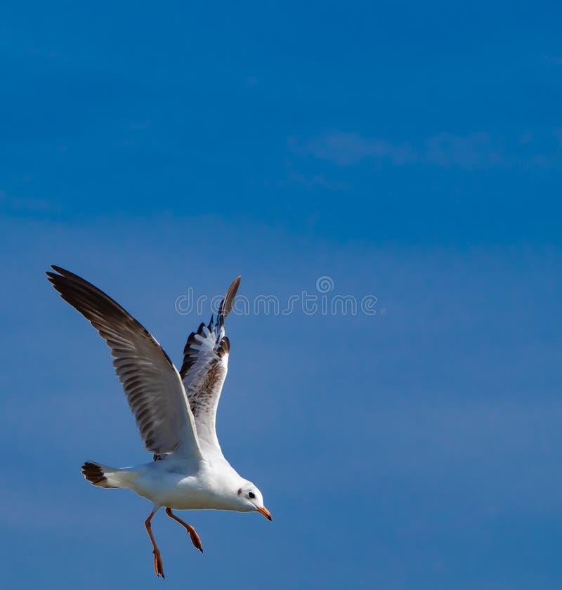 De witte zeemeeuwen vliegen prachtig in bluesky stock foto