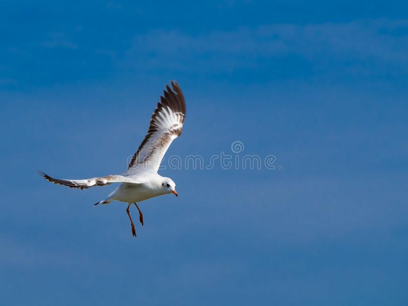 De witte zeemeeuwen vliegen prachtig in bluesky stock fotografie