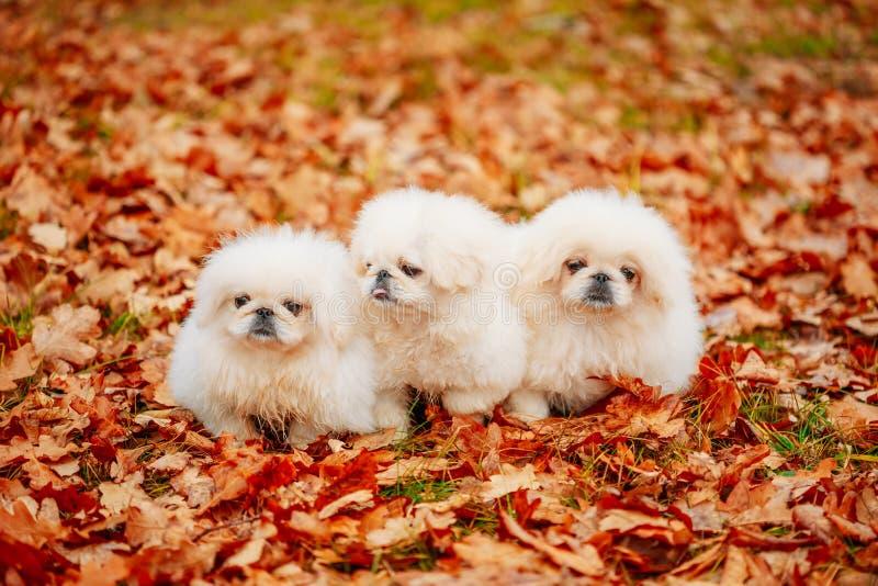 De witte Zitting van de de Puppyhond van de Pekineespekinees op Geel, Oranje Dalingsgebladerte royalty-vrije stock foto's