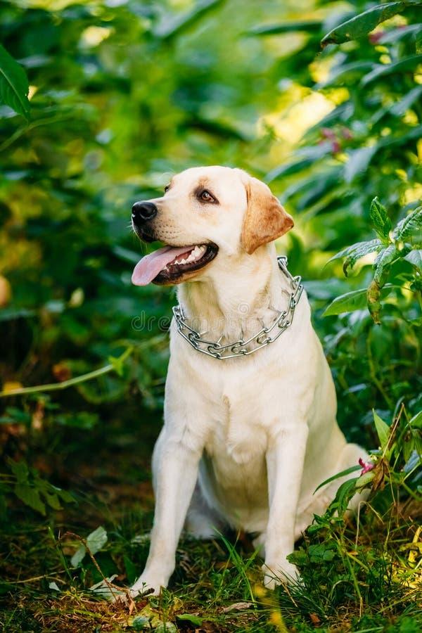 De witte Zitting van de Labradorhond in Groen stock foto's