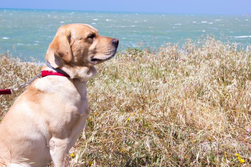 De witte zitting van Labrador, blauwe overzeese achtergrond royalty-vrije stock fotografie