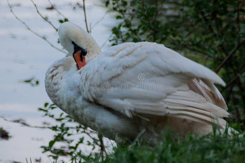 De witte zwaan maakt veren bij dichte omhooggaand van de de zomer landelijke rivieroever schoon stock fotografie