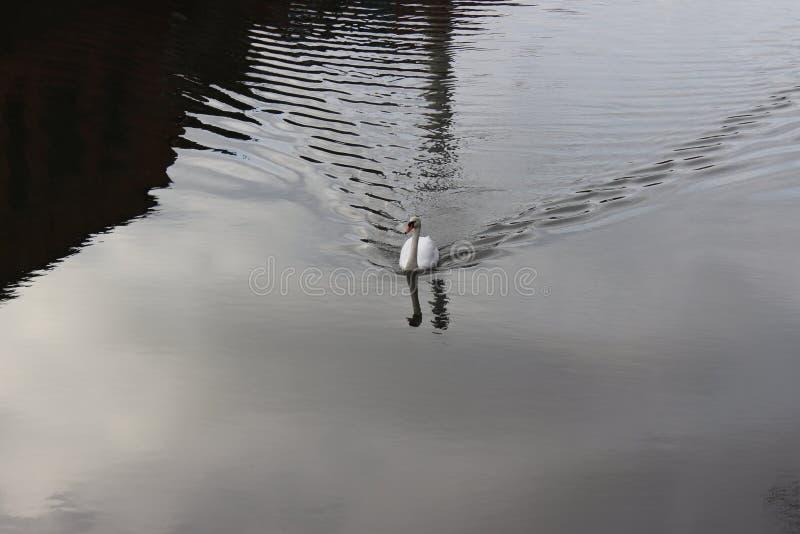 de witte zwaan in de vijver stock fotografie