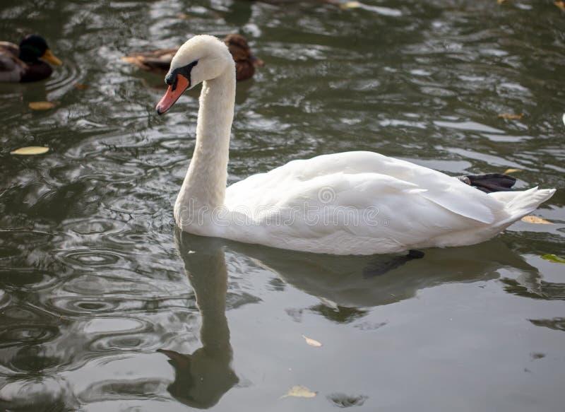 De witte zwaan zwemt in een vijver in de herfst royalty-vrije stock afbeelding