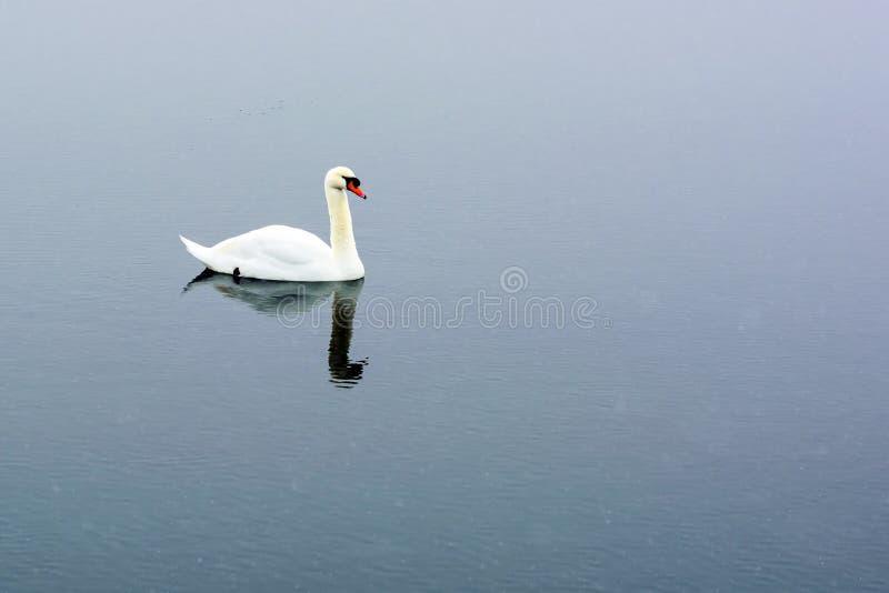 De witte zwaan zwemt op het meer in het stadspark Trotse en mooie vogel Donker water in de vroege lente gestemd stock fotografie