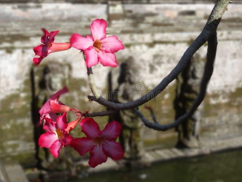 De woestijn nam bloemen bij de tempel van Goa Gajah in Bali toe royalty-vrije stock foto's