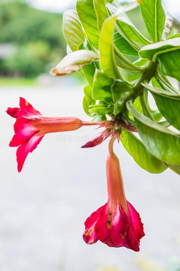 De woestijn nam, Impalalelie, Onechte Azalea, rode roze bloem toe royalty-vrije stock foto
